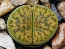 Lithops bromfieldii v. insularis 'Sulphurea' C 362