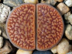 Lithops hookeri v. marginata C 089