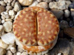 Lithops julii ssp. fulleri v. brunnea C 179