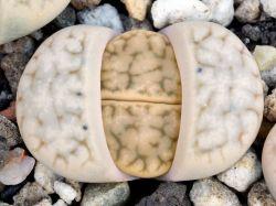 Lithops karasmontana ssp. eberlanzii