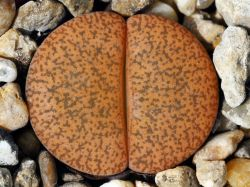 Lithops lesliei v. mariae C 141