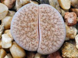 Lithops verruculosa v. glabra C 160