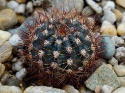 Lobivia arachnacantha v. densiseta WR 186