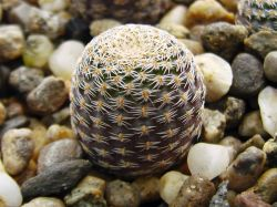 Lobivia famatimensis FR 459