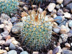 Mammillaria dixanthocentron