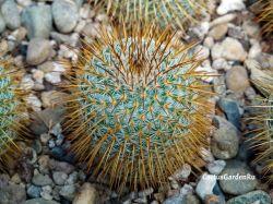 Mammillaria dixanthocentron FO 230