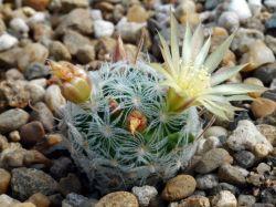 Mammillaria duwei с ЦК
