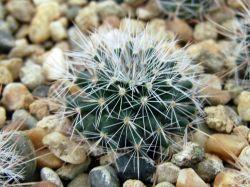 Mammillaria hemisphaerica RS 100