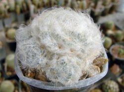 Mammillaria plumosa v. Icamol