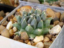 Mammillaria sempervivi SB 91