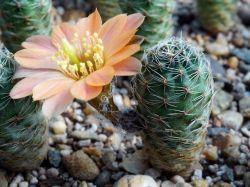 Mediolobivia rosalbiflora FR 1115