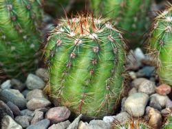 Notocactus ottonis