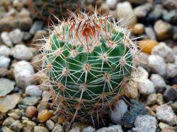 Notocactus ritterianus GF 220