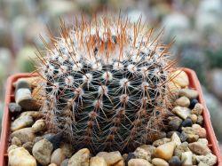 Notocactus schlosseri