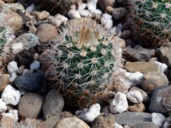 Notocactus schlosseri DV 4