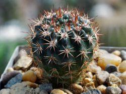 Notocactus submammulosus VG 019