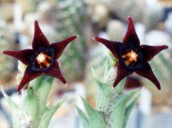 Orbea semitubiflora