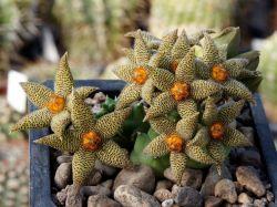 Piaranthus foetidus