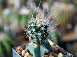 Sclerocactus schlosseri