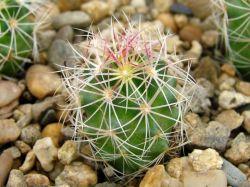 Thelocactus bicolor v. pottsii