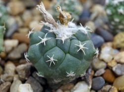 Turbinicarpus lophophoroides