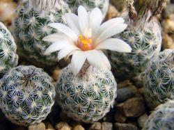 Turbinicarpus schmiedickeanus v. dickisoniae PP 215