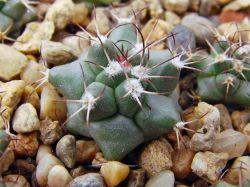 Turbinicarpus swobodae