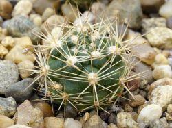 Weingartia pulquinensis v. mairanensis L 958