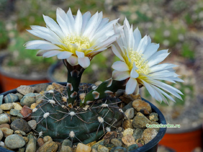 Gymnocalycium emilii TOM 144/1