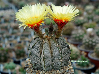 Astrophytum capricorne v. major P 368