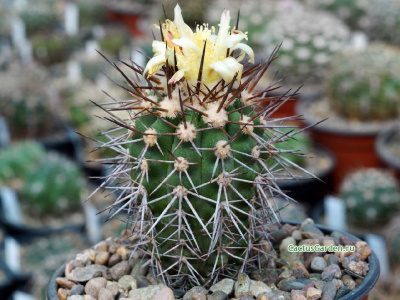 Copiapoa chanaralensis WM 126