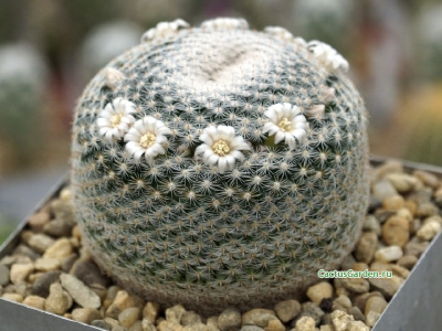 Mammillaria microthele RS 532