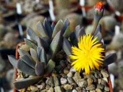 Aloinopsis orpenii PB 4488