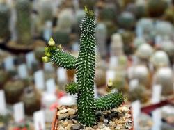 Echidnopsis specksii