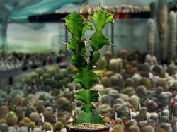Euphorbia grandicornis