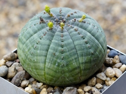 Euphorbia obesa v. symmetrica