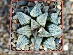 Haworthia emelyae 'Picta'
