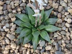Haworthia emelyae v. multifolia