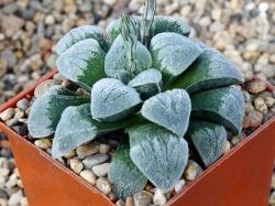 Haworthia pygmaea 'Crystallina' x pygmaea 'Powder Snow'
