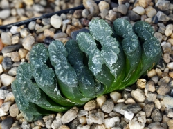 Haworthia truncata 'Japan'