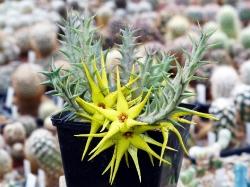 Orbeopsis caudata