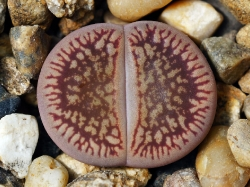 Lithops aucampiae ssp. euniceae v. fluminalis C 054