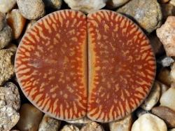 Lithops aucampiae v. euniceae C 048
