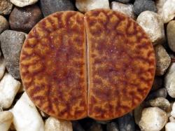Lithops bromfieldii v. glaudinae C 393