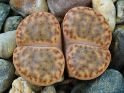 Lithops bromfieldii v. insularis Soverby