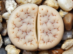 Lithops gracilidelineata C 262