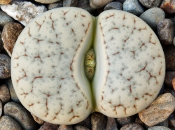 Lithops gracilidelineata C 373