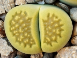 Lithops hallii v. ochracea 'Green Soapstone' C 111A