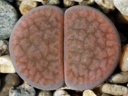 Lithops hookeri v. elephina C 092