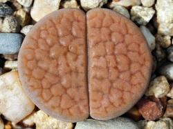 Lithops hookeri v. elephina C 093